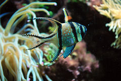Banggai Cardinal Fish in an Aquarium Royalty Free Stock Photo