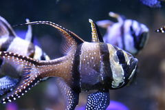 Banggai Cardinal Fish Stock Photos