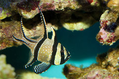Banggai Cardinal Fish Royalty Free Stock Photo