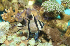 Banggai Cardinal Fish Royalty Free Stock Photography