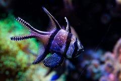 Banggai Cardinal fish Stock Photography