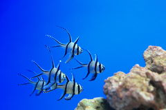 Banggai Cardinal Fish. The Banggai Cardinal Fish, sometimes referred to as Kaudern's Cardinal Fish is a remarkable looking specimen having a silver body with Royalty Free Stock Photo