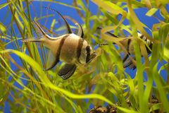 Banggai Cardinalfish Royalty Free Stock Photos