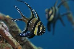 Banggai cardinalfish Stock Image