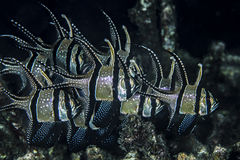 Banggai cardinalfish Royalty Free Stock Photo