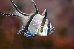 Banggai cardinalfish. A single Banggai cardinalfish (Pterapogon kauderni Stock Image