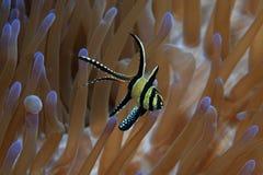 Banggai cardinalfish Zdjęcia Stock