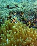 Banggai Cardinalfish. (pteraponon kaudemi) takes refuge in anemone for protection royalty free stock image
