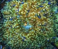 Banggai Cardinalfish Stock Photos