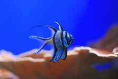 Banggai Cardinalfish in an aquarium Stock Photo