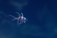 Banggai Cardinalfish in a aquarium Stock Photo