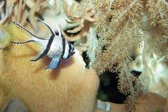 Banggai cardinalfish. Floating in water stock image