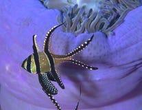 Banggai Cardinalfish with blue anemone background Stock Image