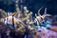 Banggai Cardinalfish in einem Aquarium Stockbild