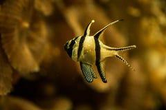 Banggai cardinalfish only found around Sulawesi, Indonesia, beautiful planted tropical aquarium with fish. Salt water marine fish royalty free stock photos