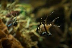 Banggai cardinalfish only found around Sulawesi, Indonesia, beautiful planted tropical aquarium with fish. Salt water marine fish royalty free stock image
