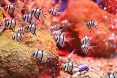 Banggai cardinalfish Royalty Free Stock Photos