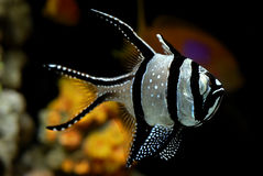 Banggai cardinalfish - Pterapogon kauderni. Banggai cardinalfish (Pterapogon kauderni) in a coral reef aquarium Stock Photo