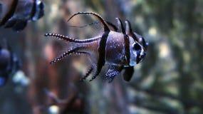 Banggai Cardinalfish Pterapogon kauderni. Fish stock photos