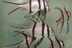 Banggai cardinalfish (Pterapogon kauderni) aquarium marine fish Royalty Free Stock Images