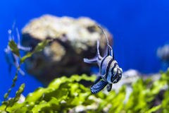 Banggai cardinalfish Stock Images