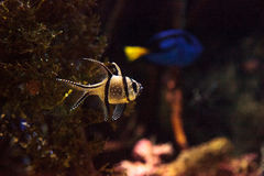 Banggai Cardinalfish Pterapogon kauderni Royalty Free Stock Images