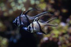 Banggai cardinalfish Pterapogon kauderni. Stock Photos