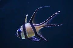 Banggai cardinalfish Pterapogon kauderni. Royalty Free Stock Photo