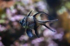 Banggai cardinalfish Pterapogon kauderni. Royalty Free Stock Images