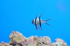 Banggai cardinalfish Royalty Free Stock Image