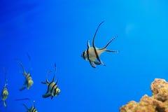 Banggai cardinalfish Royalty Free Stock Image