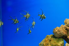 Banggai cardinalfish. The Banggai cardinalfish (Pterapogon kauderni) is a small tropical cardinalfish family Apogonidae. It is the only member of the genus royalty free stock images