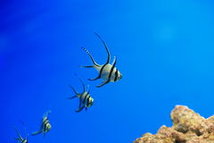 Banggai cardinalfish. The Banggai cardinalfish (Pterapogon kauderni) is a small tropical cardinalfish family Apogonidae. It is the only member of the genus stock images