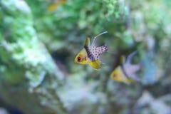 Banggai cardinalfish Royalty Free Stock Images