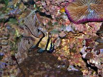 Banggai Cardinalfish in Saltwater Aquarium. The Banggai cardinalfish Pterapogon kauderni is a small tropical cardinalfish in the family Apogonidae and is popular royalty free stock image