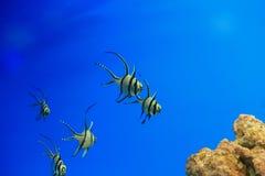 Banggai cardinalfish Stock Images
