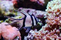 Banggai cardinalfish. Swimming among the coral reefs stock photography