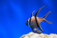 Banggai cardinalfish Stock Photo