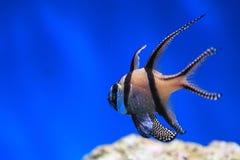 Banggai cardinalfish. In water stock photo
