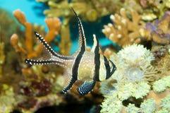 Banggai huvudsaklig fisk Arkivfoton