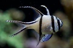 Bangghai Cardinalfish Royalty Free Stock Image