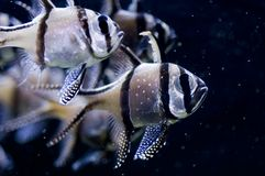 Bangghai Cardinalfish Royalty Free Stock Photography