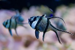 bangghaicardinalfish Royaltyfria Bilder