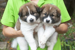 Bangkaew puppies portrait on owner hand Stock Photography