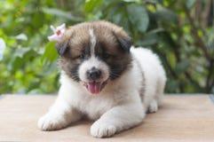 Bangkaew puppy portrait Royalty Free Stock Image