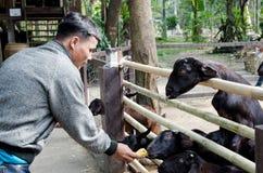 BANGKOK - 1 DE ENERO Una comida de alimentación del hombre no identificado a las cabras el 1 de enero de 2014 en el parque zoológ Foto de archivo
