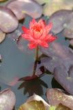 bangkok härlig lotusblommapink thailand Royaltyfria Bilder