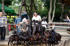 BANGKOK -JAN 1. An unidentified man feeding food to goats on January 1, 2014 at Dusit Zoo in Bangkok, Thailand. Stock Photo