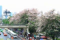 Bangkok, Tailandia - 16 aprile 2016: Fiori di tromba rosa che fioriscono al bordo della strada di Jatujak Fotografie Stock Libere da Diritti