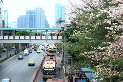 Bangkok, Thailand - 16. April 2016: Rosa Trompeten-Blumen, die an Jatujak-Straßenrand blühen Lizenzfreie Stockfotografie